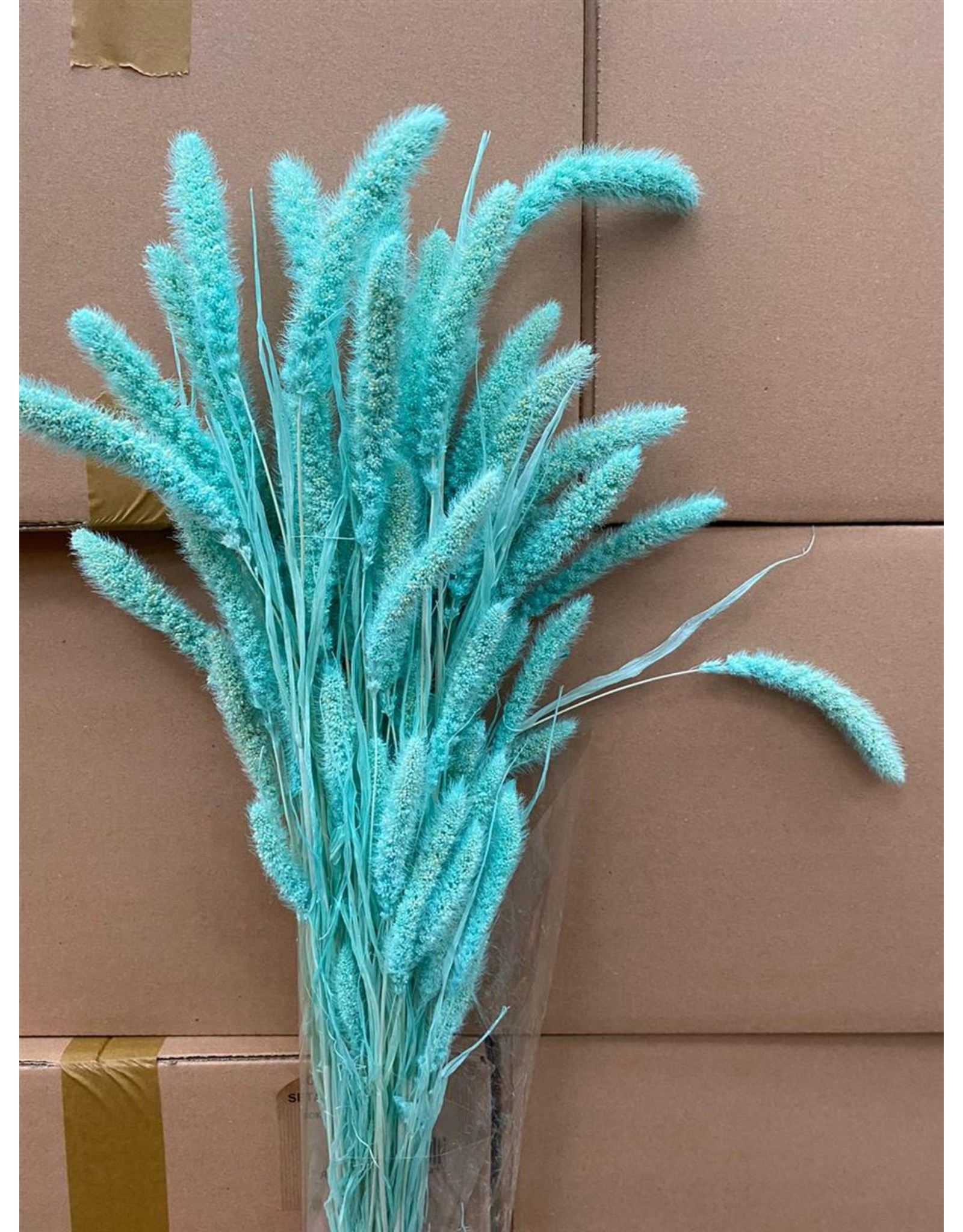 Dried Setaria Aqua Blue Bunch x 1