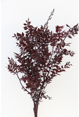 Pres Ruscus Red 1kg Bunch Poly x 1