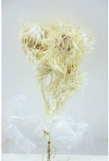 Dried Silver Thistle Soft x 5
