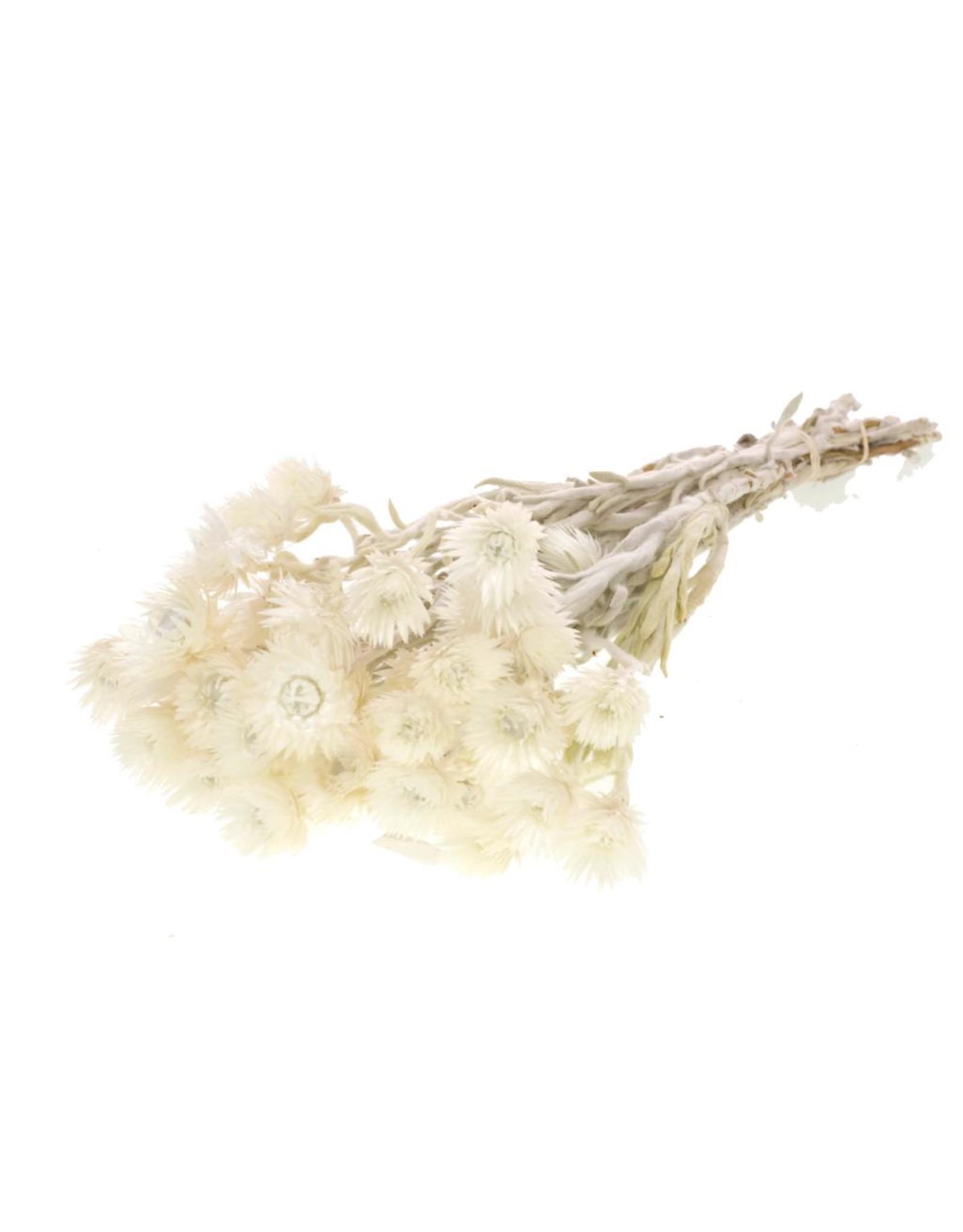 Helichrysum vestitum natural x 40