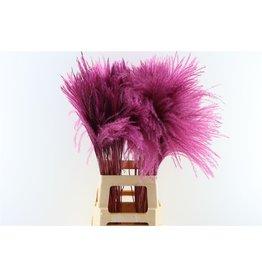 Dried Stipa Feather Aubergine P. Stem x 50