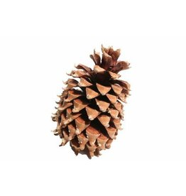 Pinecone Coultier Pine 17-23cm x 20