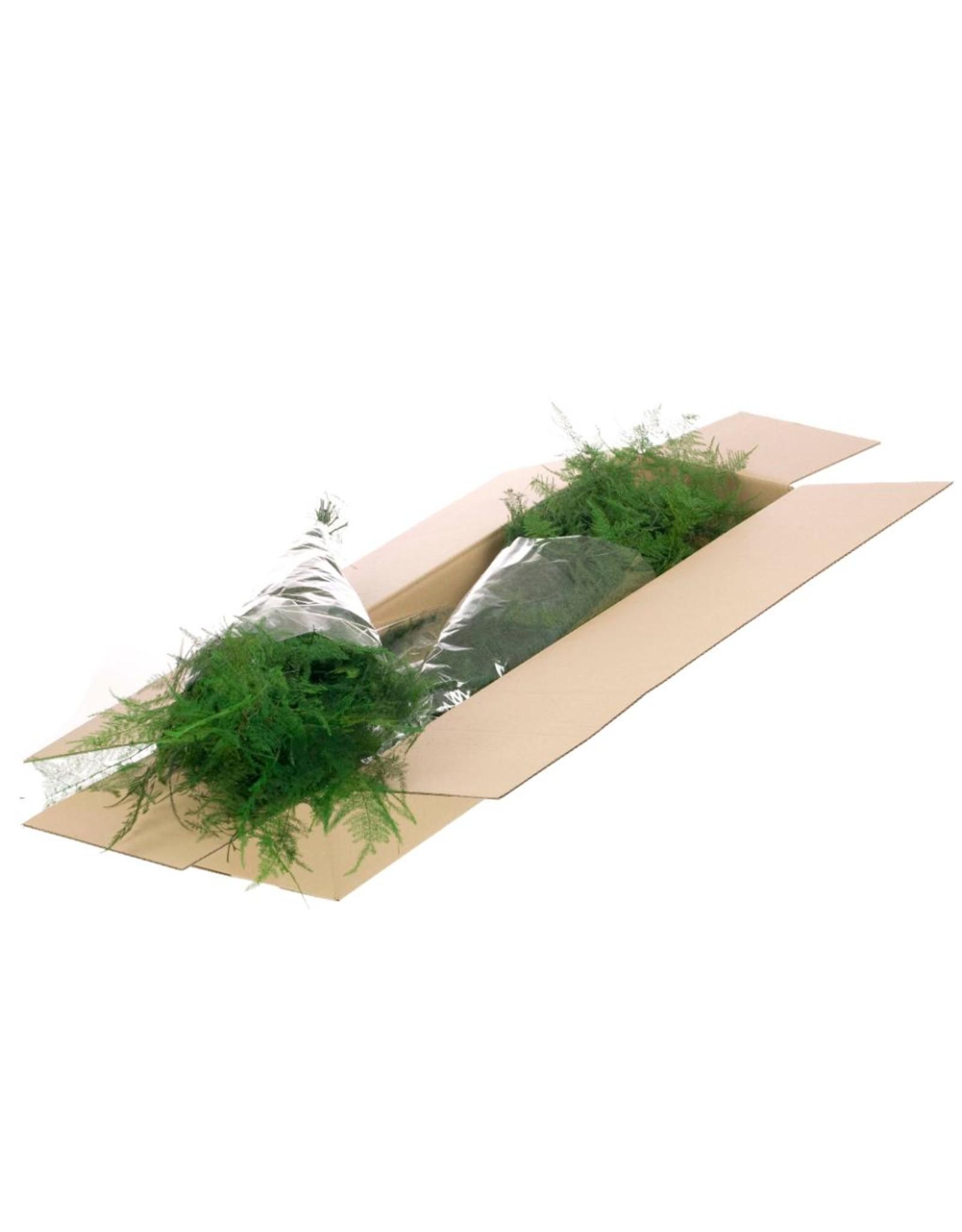 LDD Asparagus preserved SB moss green x 3