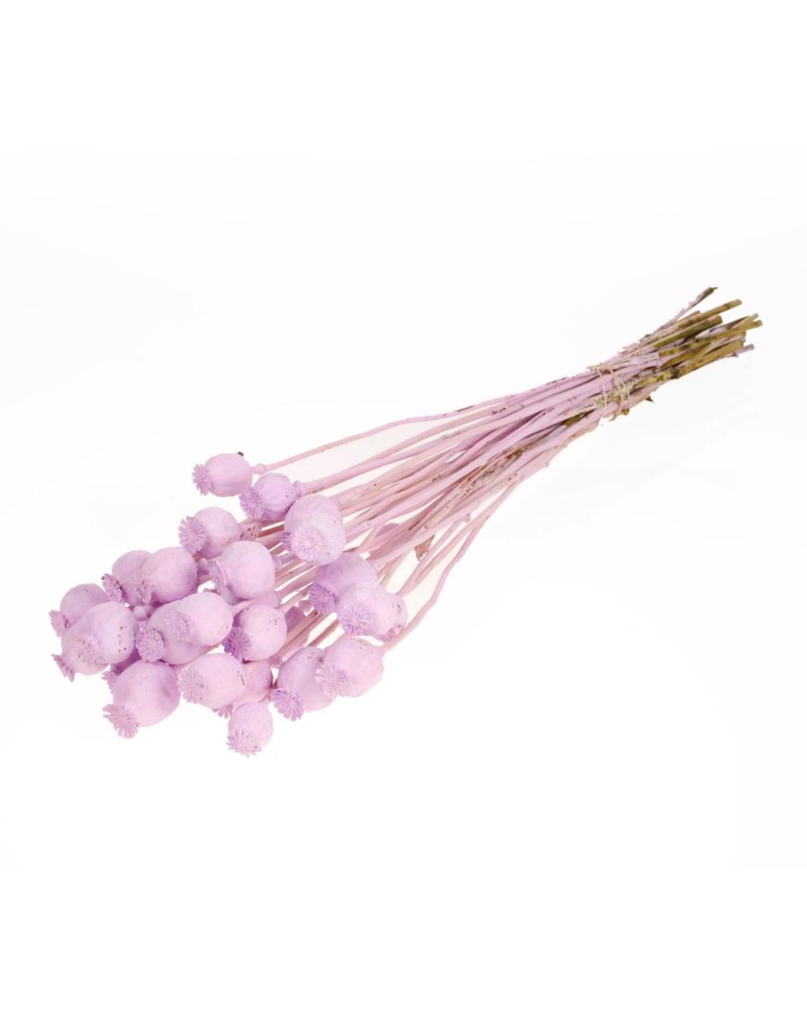LDD Papaver SB lilac misty x 4