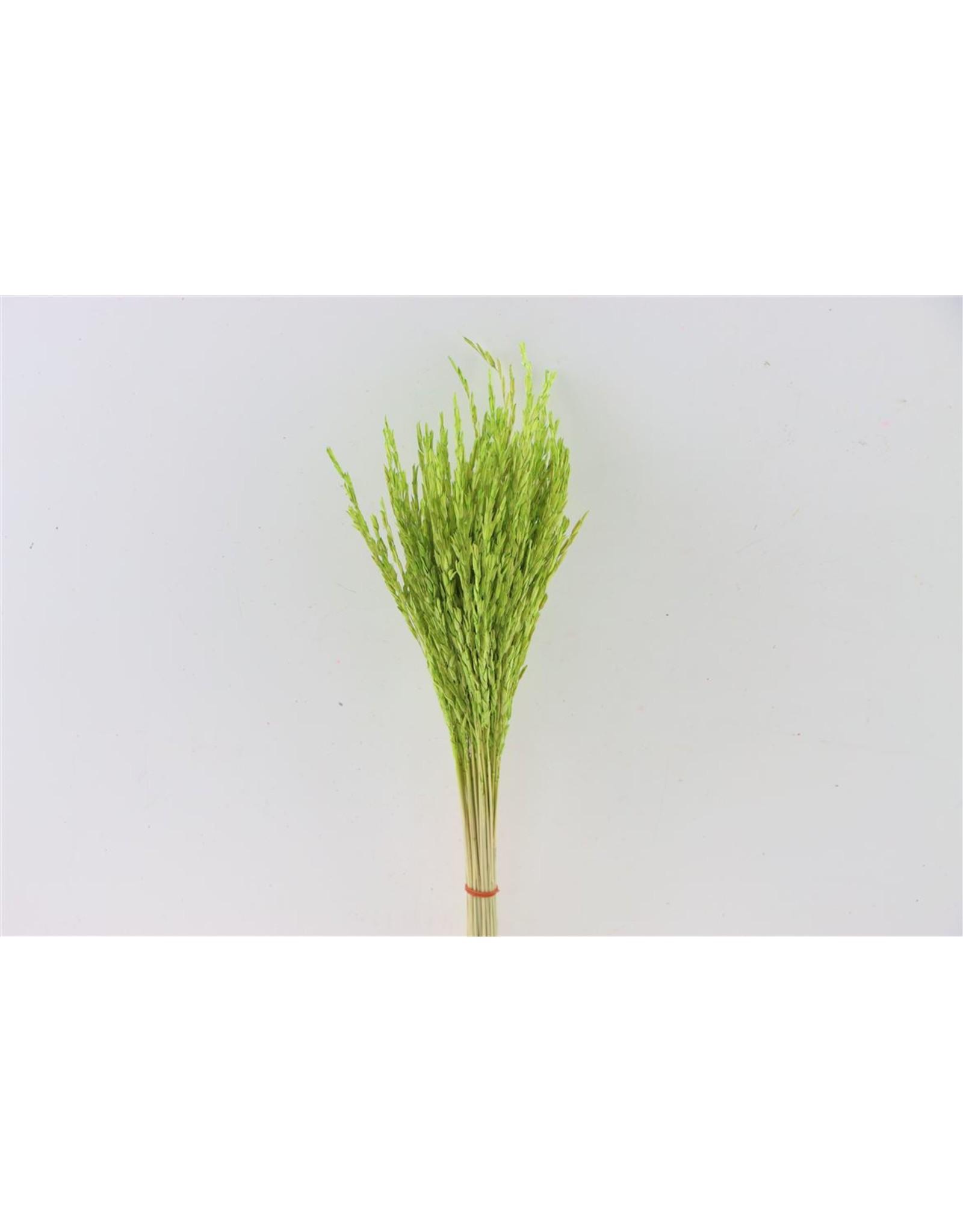 GF Dried Rice Oryza Green Bunch x 40