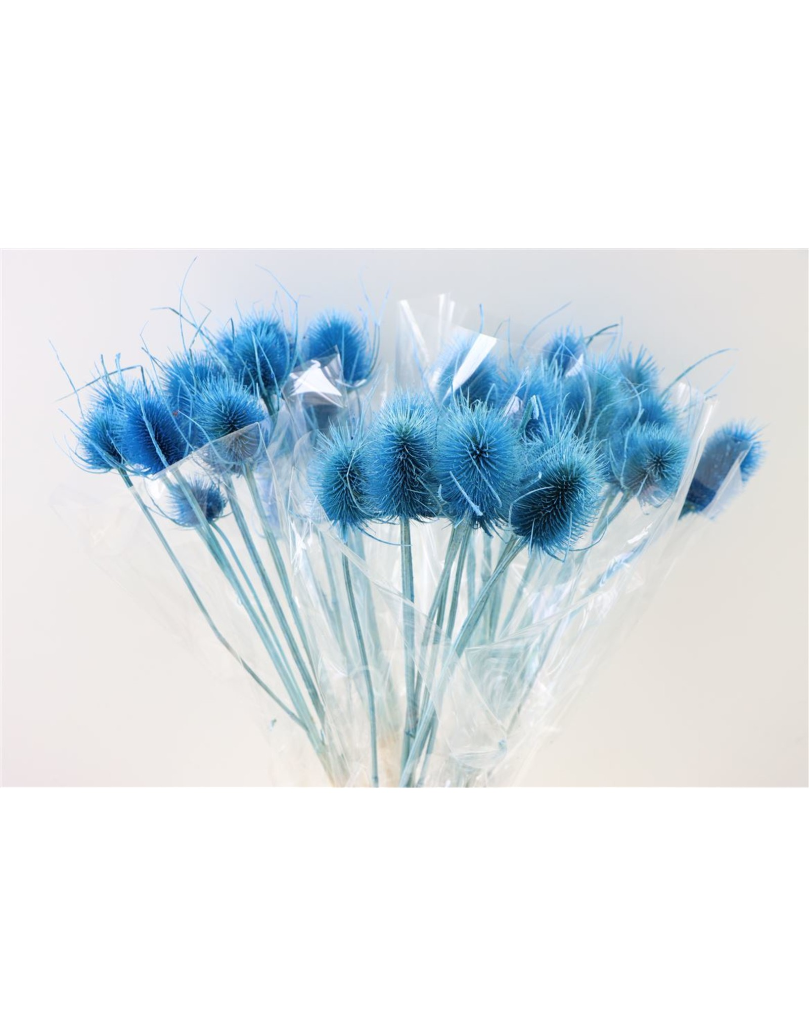 GF Dried Cardi Light Blue Bunch x 5