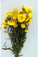 GF Dried Helichrysum Yellow Bunch x 4