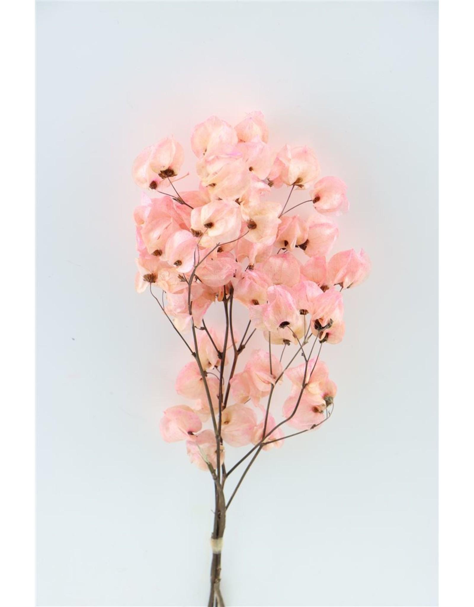 GF Dried Bougainvillea 45cm L. Pink Bunch x 5