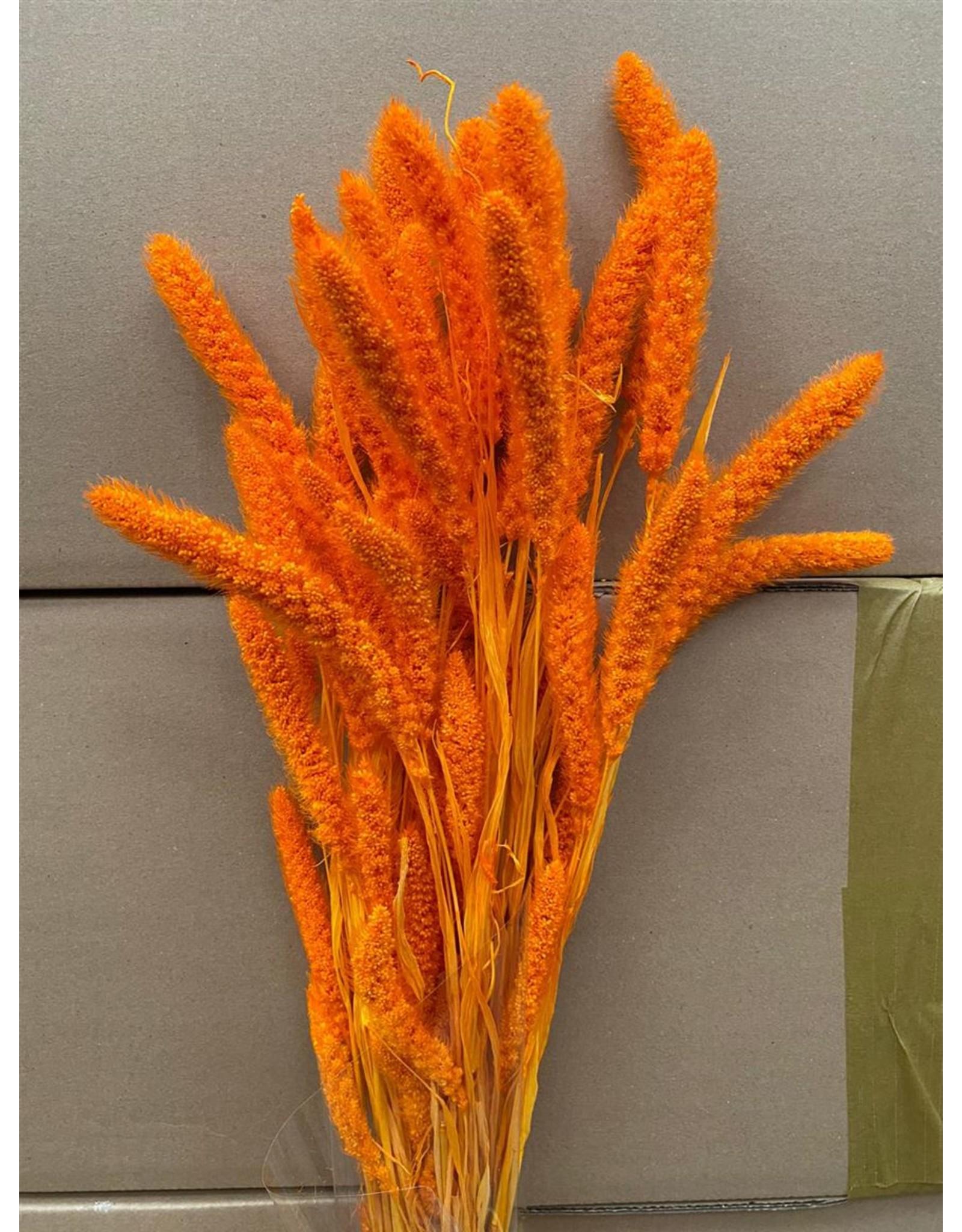 GF Dried Setaria Orange Bunch x 2
