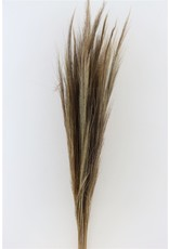 GF Dried Chinese Broom Natural Bunch Slv x 5