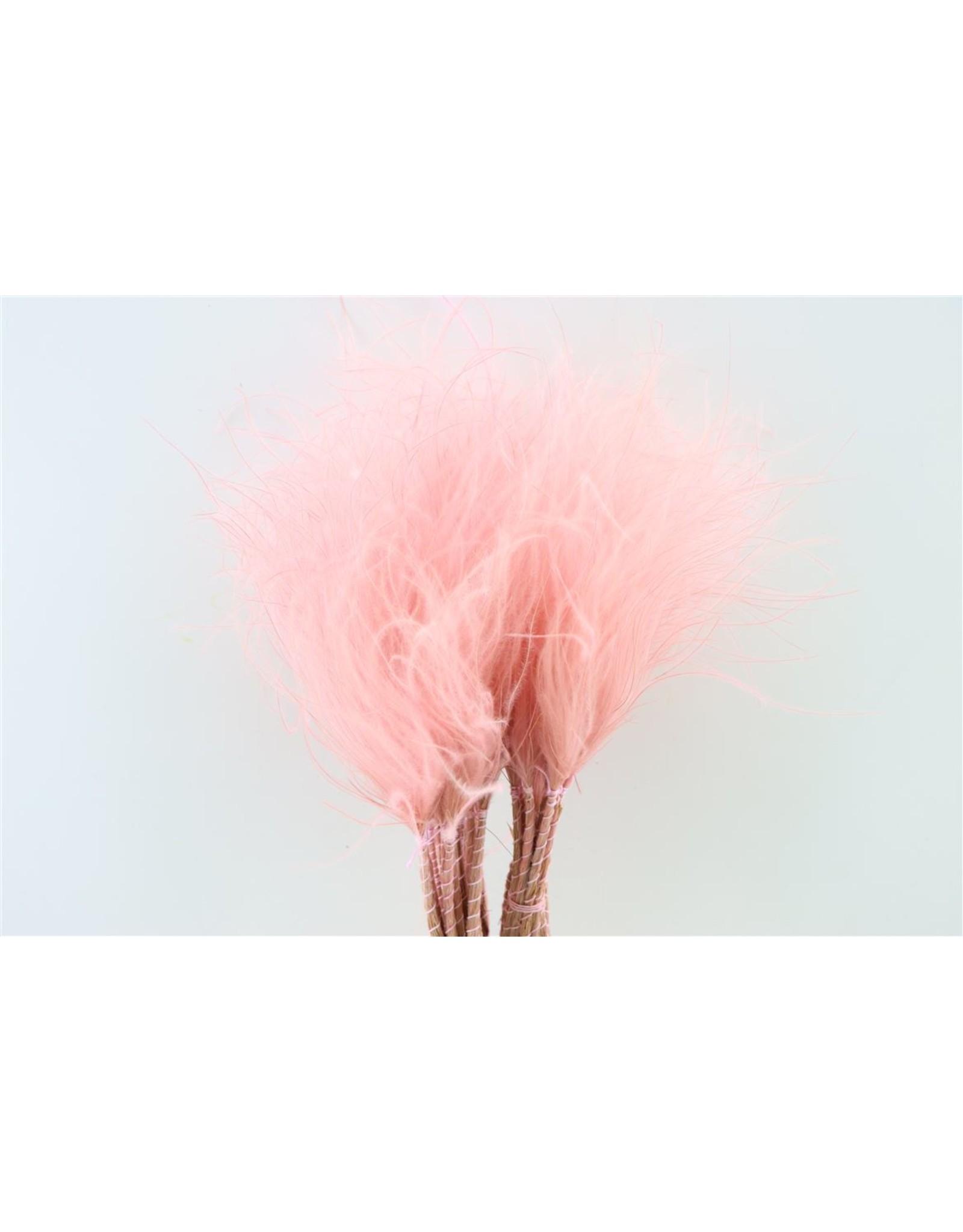 GF Dried Stypha Penata Wild Pastel L. Pink Bunch x 5