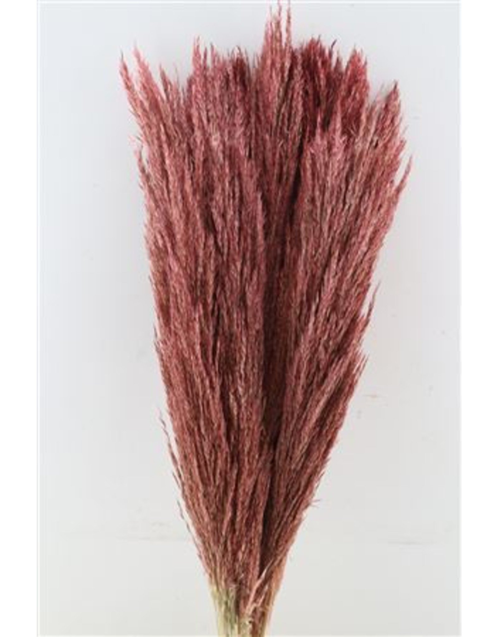 GF Dried Pampas Cane Arundo Donax L. Pink P. Stem x 50