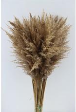 GF Dried Reed Plume P. Stem x 50