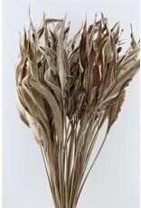 GF Dried Strelitziablad P Stem x 50