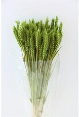 GF Dried Triticum Apple Green Bunch x 5