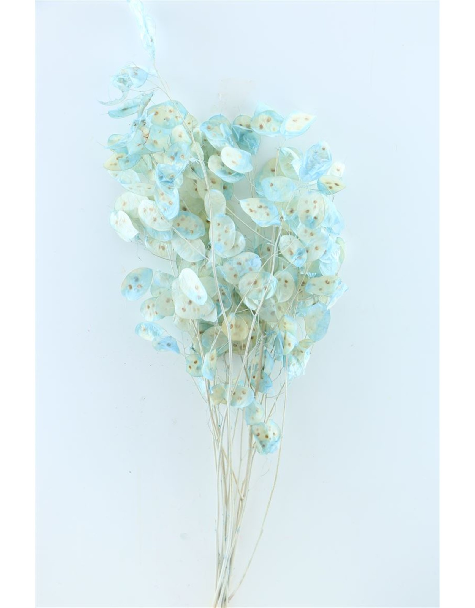 GF Dried Lunaria L. Blue Bunch x 1