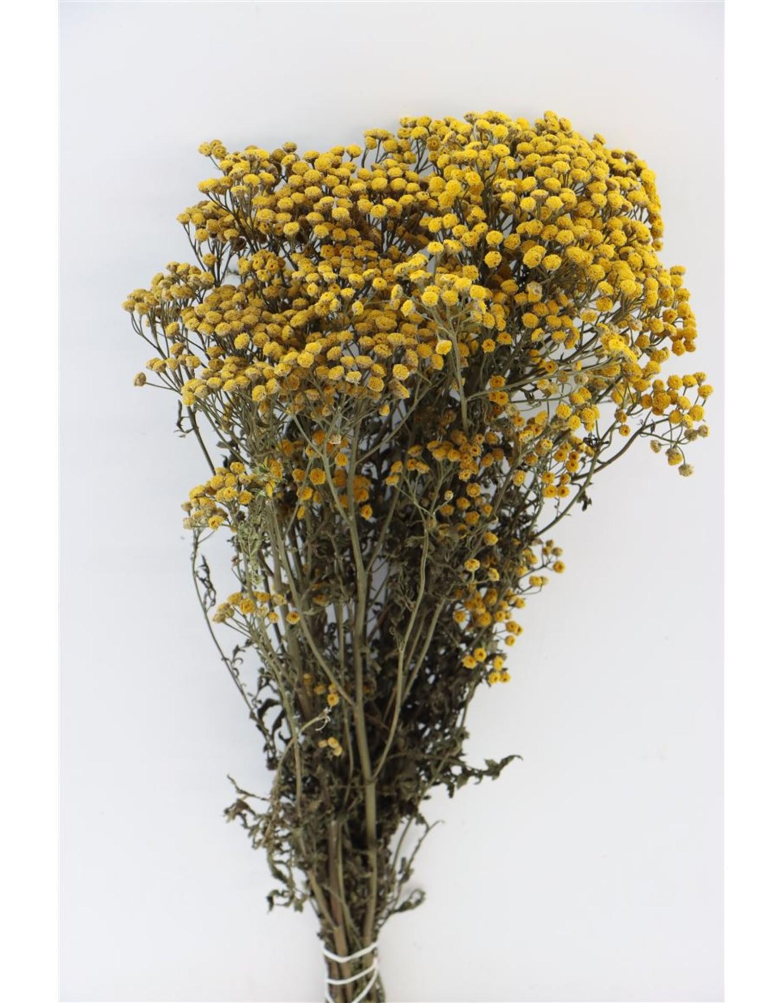 GF Dried Tanacetum Yellow Bunch x 5