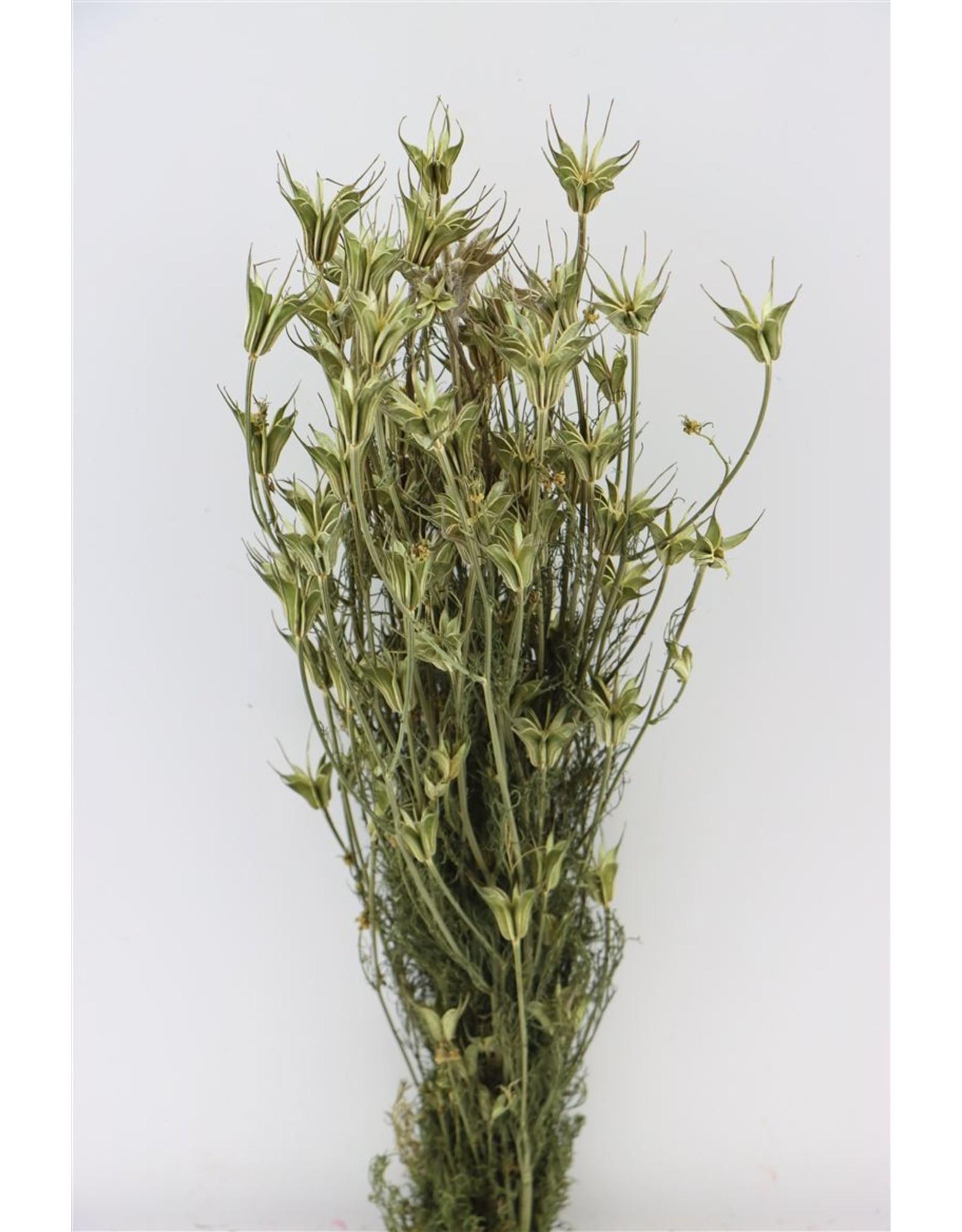 GF Dried Nigella Orientalis Natural Bunch x 5
