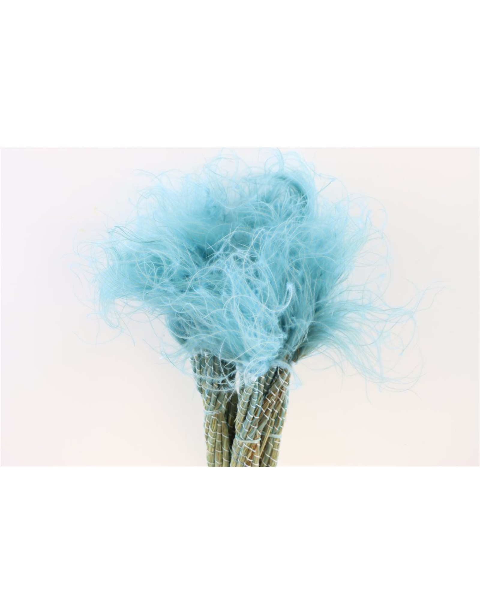 GF Dried Stypha Penata Wild L. Blue Bunch x 5