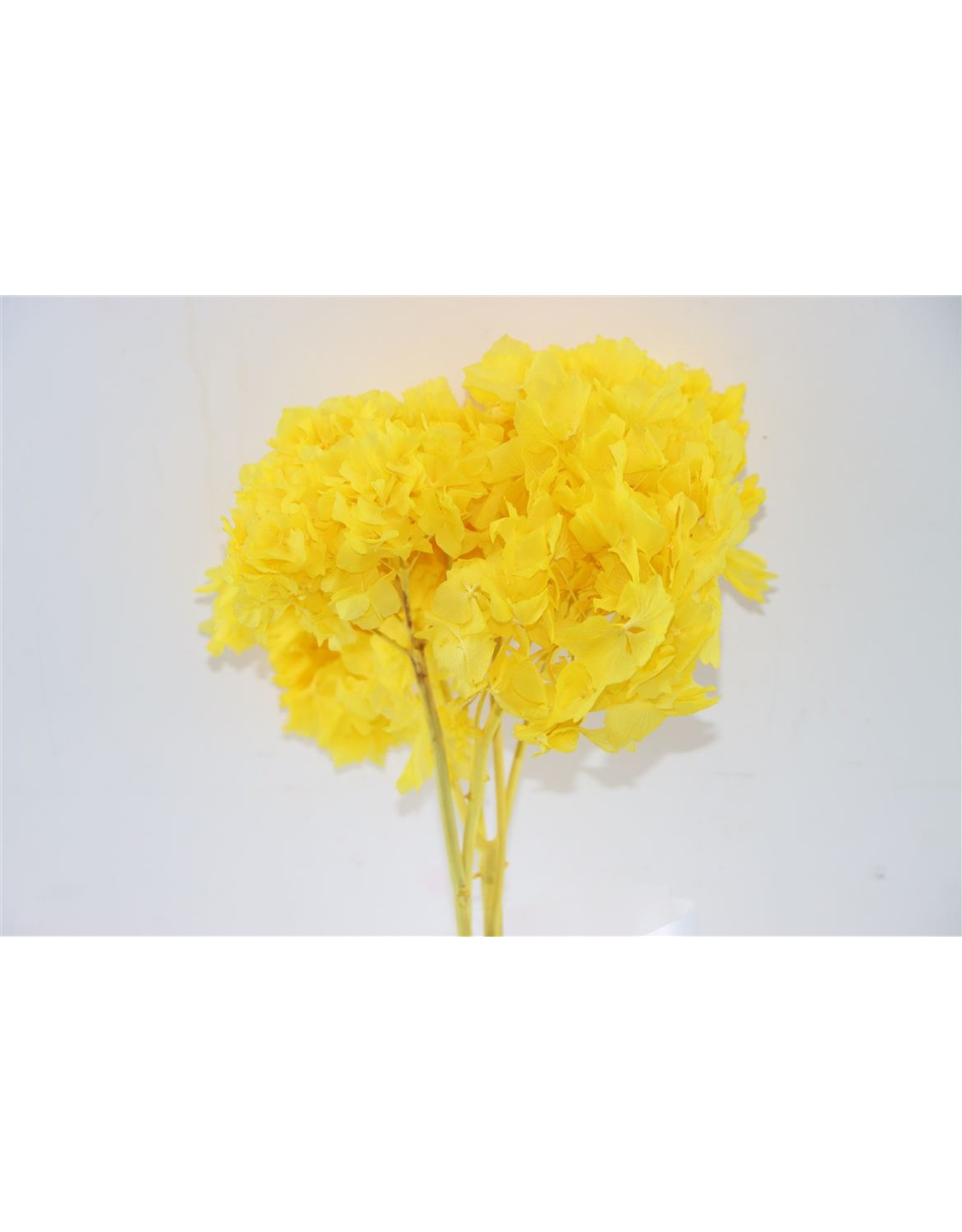 GF Dried Hydrangea Yellow Pro Bunch x 1