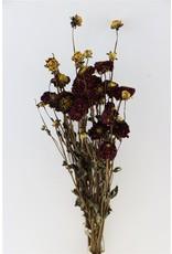 GF Dried Dahlia Purple 20 Stems Bunch x 2
