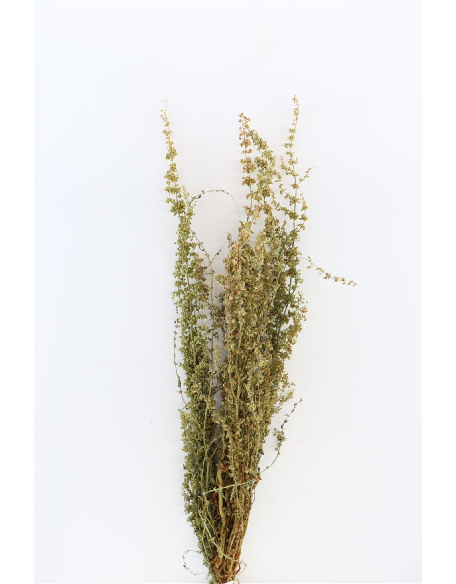GF Dried Abetona Romice Naturel Bunch x 5