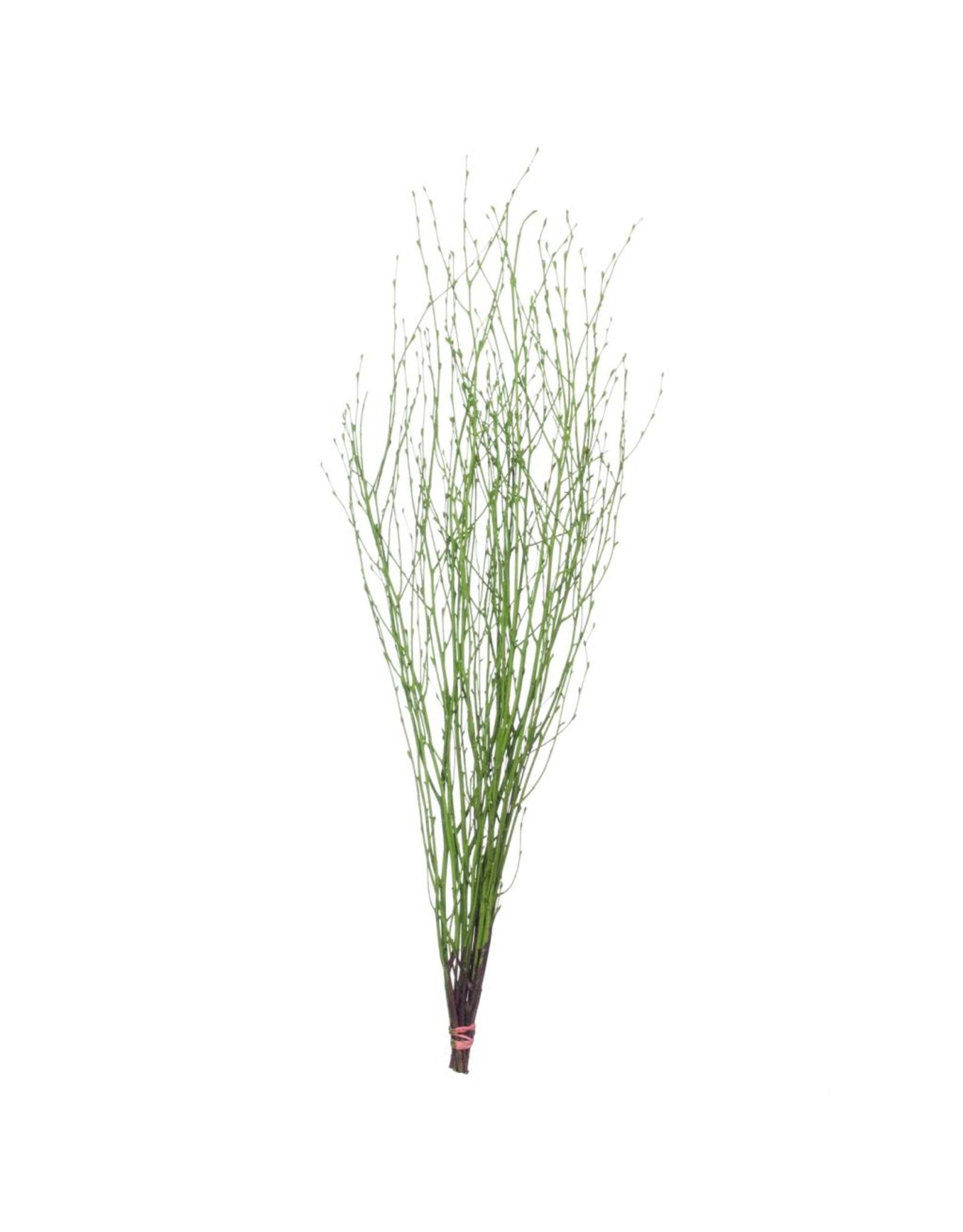 LDD Birch 75cm 5pc spring green x 24