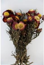 GF Dried Helichrysum Red Bunch x 3