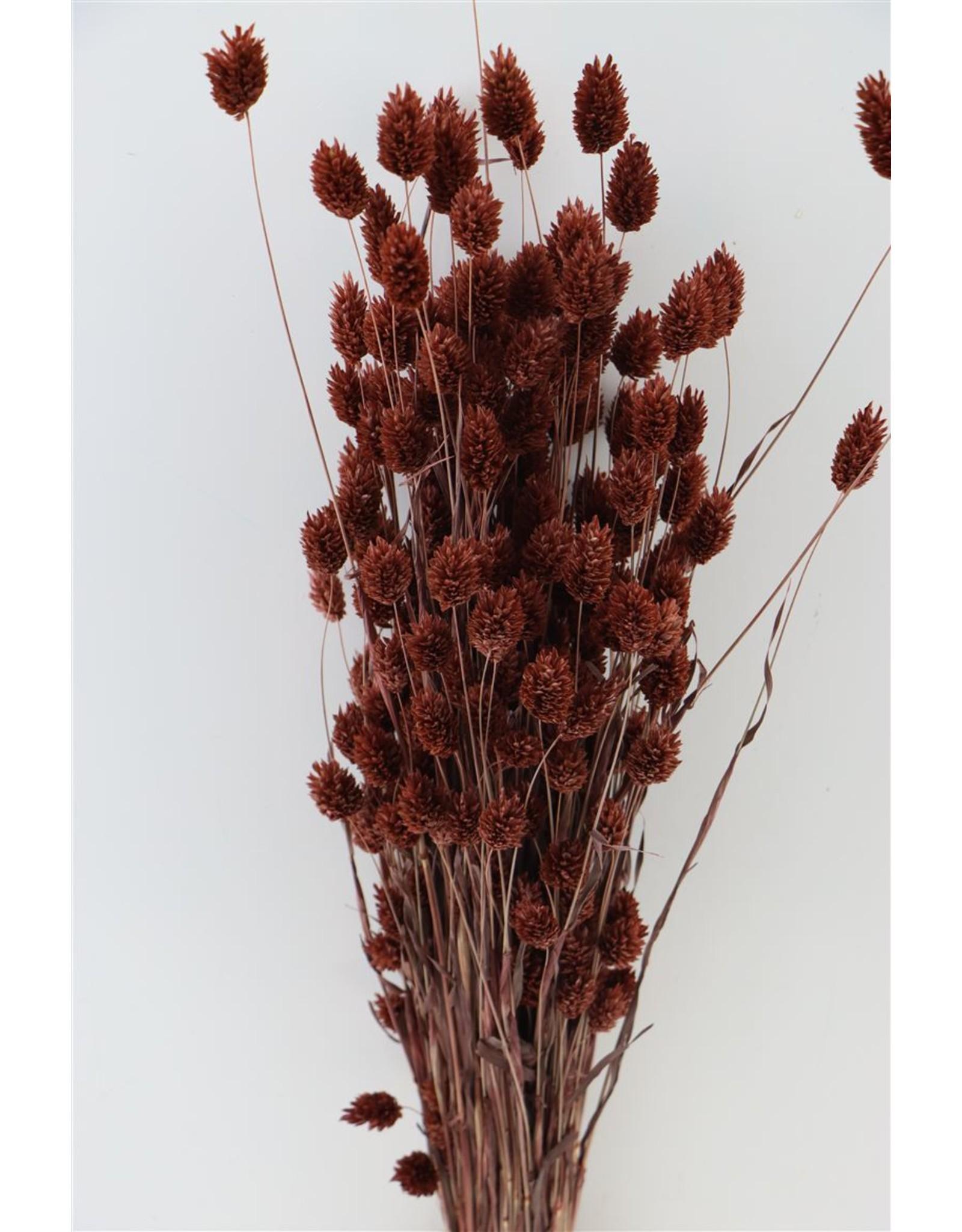 GF Dried Phalaris D. Brown Bunch x 5