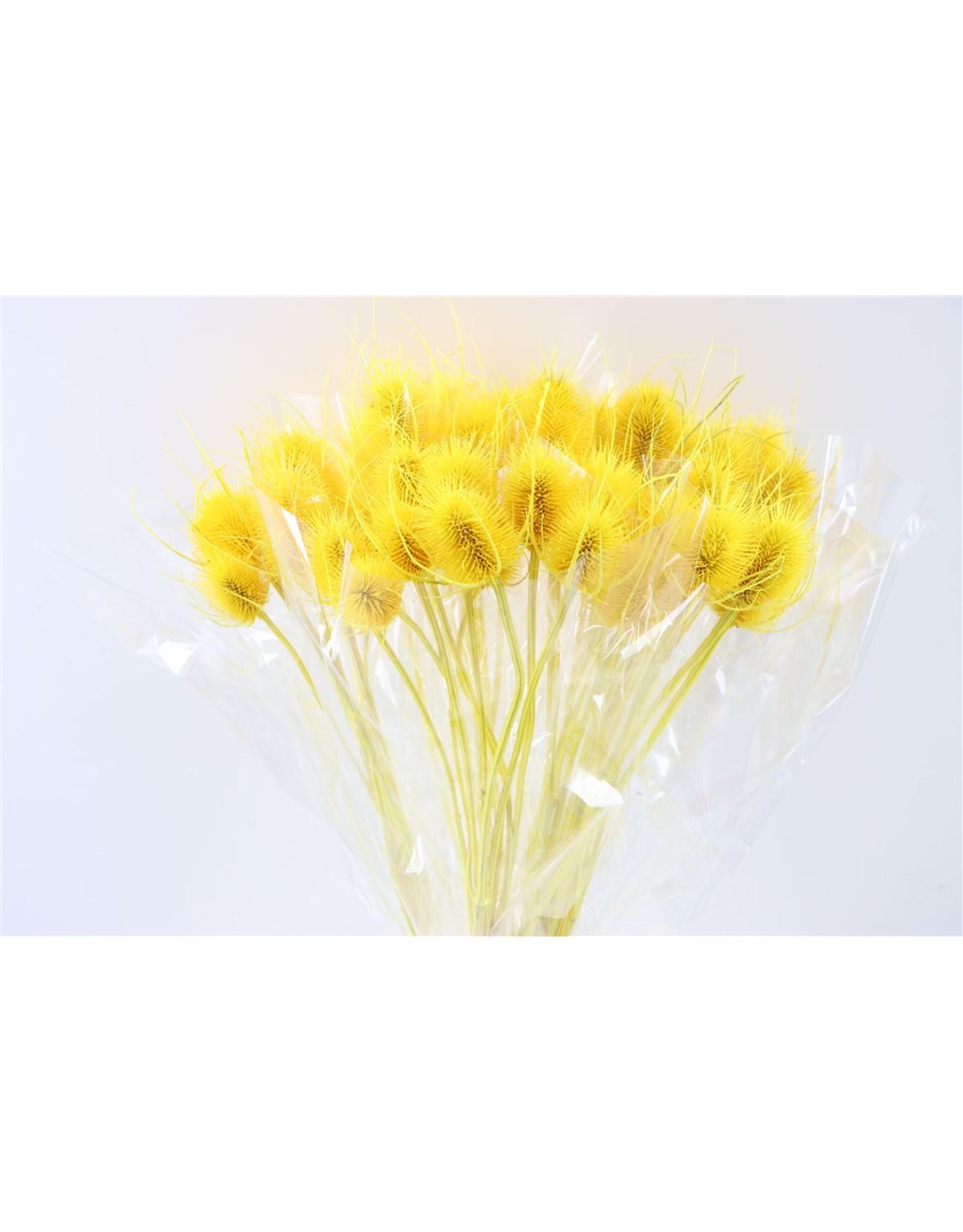 GF Dried Cardi Yellow Bunch x 5