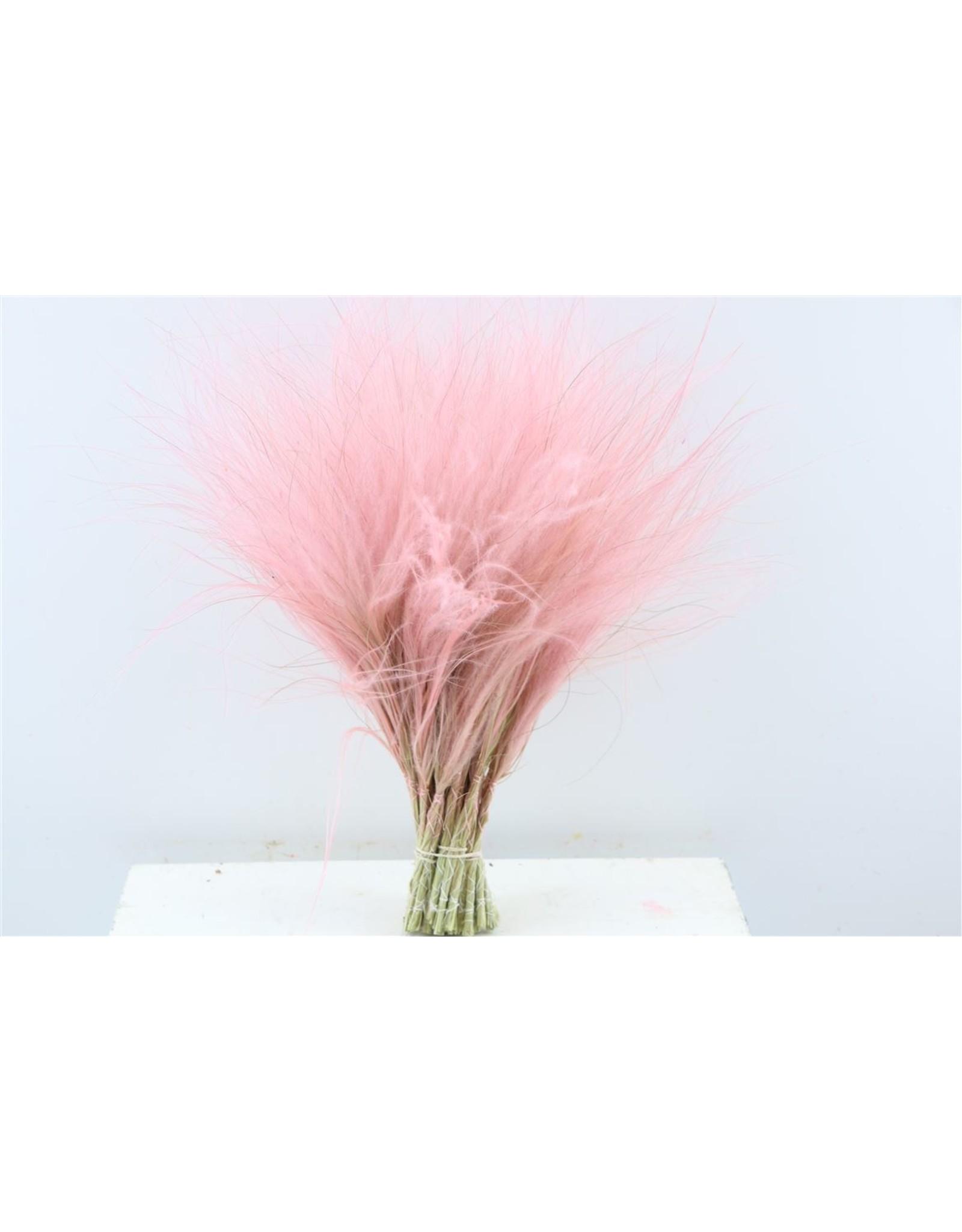 GF Dried Stypha Penata L. Pink Bunch x 5