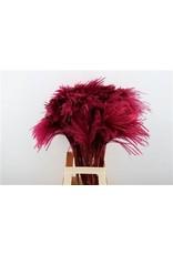 GF Dried Stipa Feather Aubergine P. Stem x 50