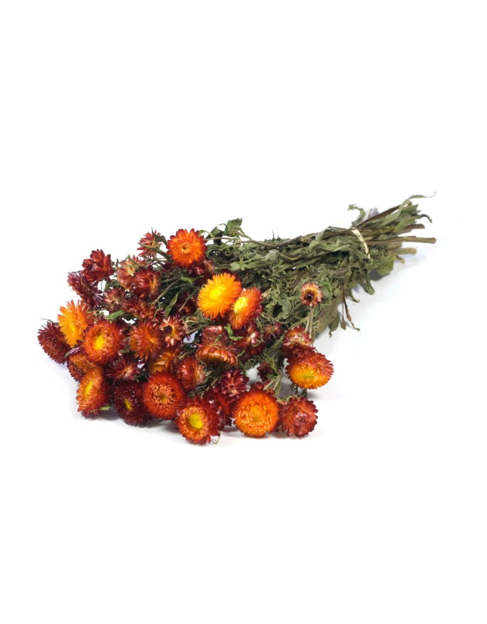 LDD Helichrysum natural red x 20