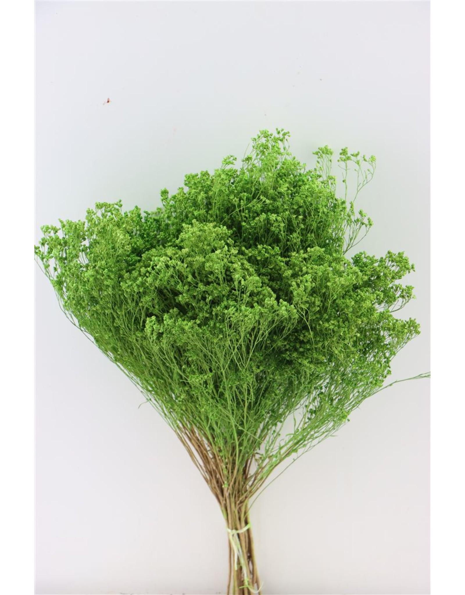 GF Dried Broom Bloom Mint Green Bunch x 3