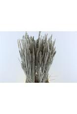 GF Dried Triticum Platinum Bunch x 5
