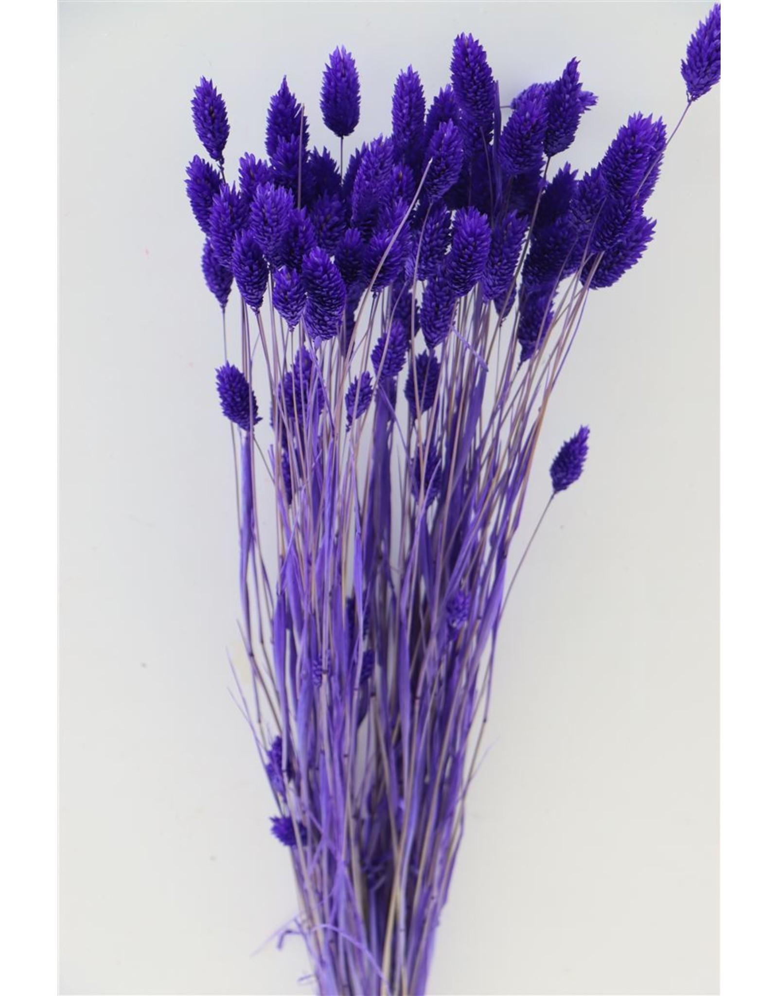 GF Dried Phalaris Violet Bunch x 3
