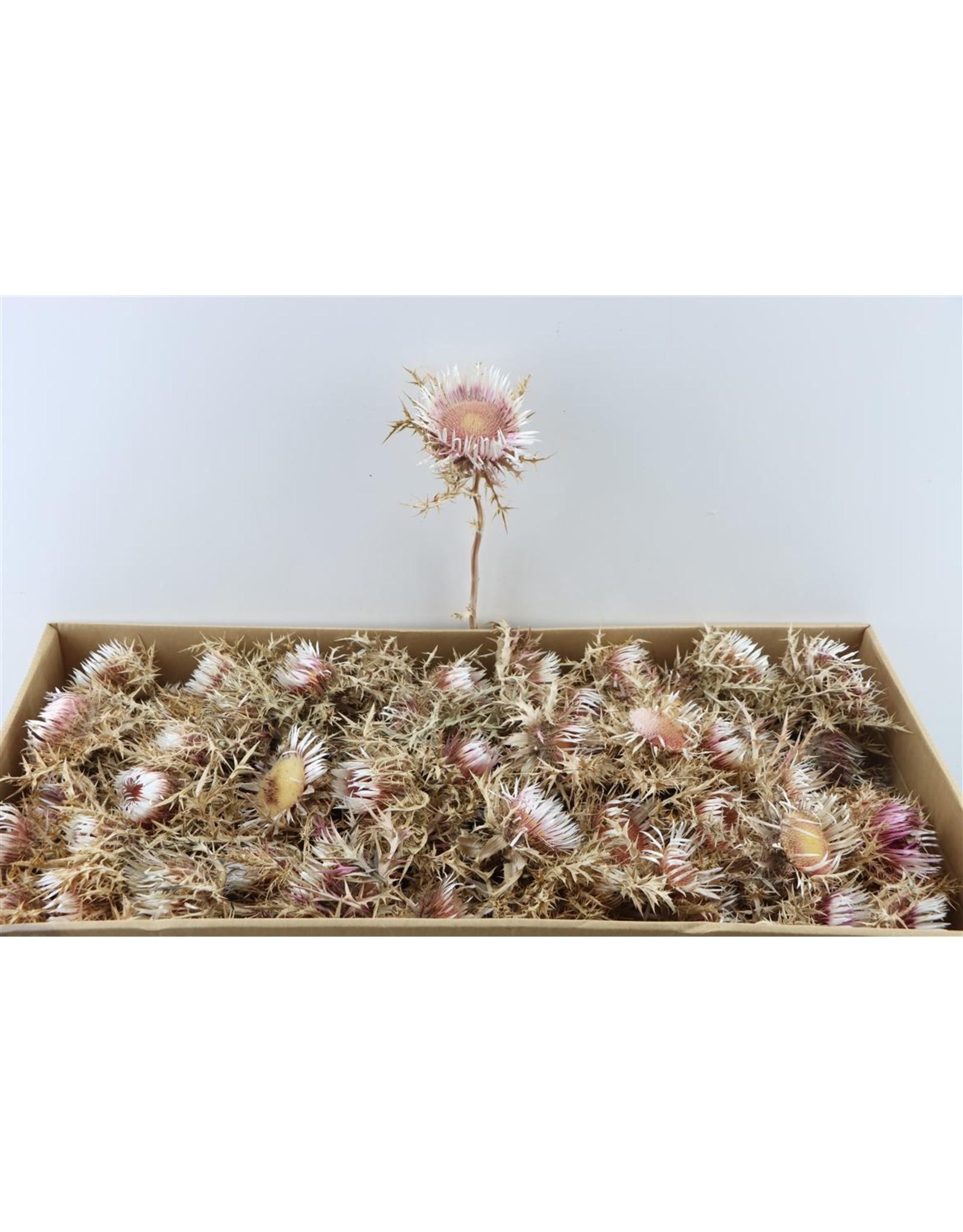 GF Dried Carlini Nat. Pink 70pc P. Box x 1