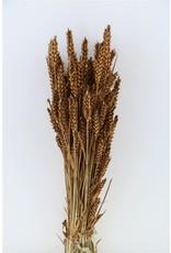 GF Dried Triticum Brown Bunch x 5