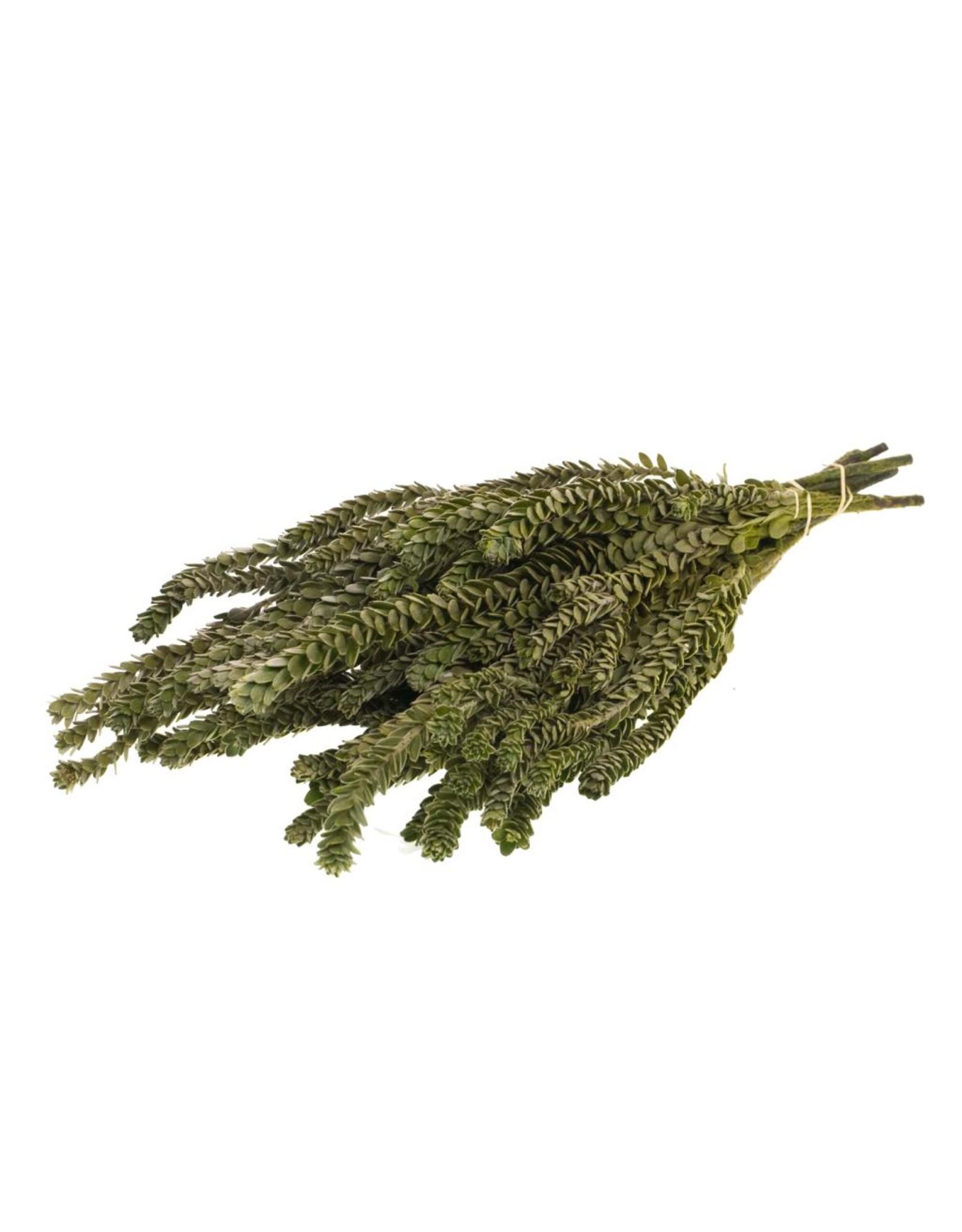 LDD Buxifolia mini preserved natural green x 40