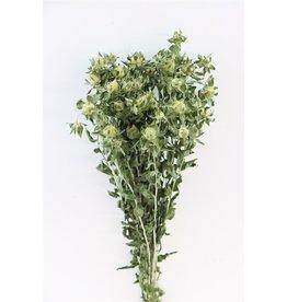 GF Dried Carthamus Green Bunch x 5