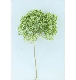 GF Dried Hydrangea Nat. Green P. Stem x 4