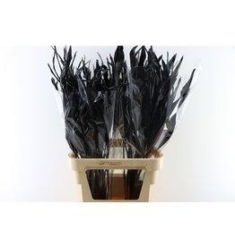 GF Strelitziablad Black x 50