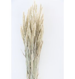GF Dried Triticum Frosted White Bunch x 5