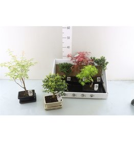 VDP Bonsai Outdoor Gemengd Keramiek x 6