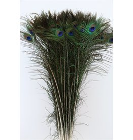 GF Dried Feather Peacock Naturel Pst x 50