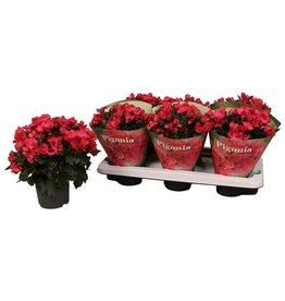 VDP Beg Du Rose Pigonia x 6