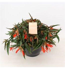 VDP Begonia Bonfire Schaal Oranje x 2