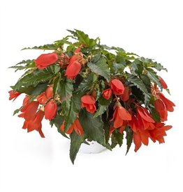 VDP Begonia Waterfall Encanto Orange x 6