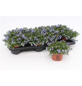 VDP Lobelia Richardii Blue x 12