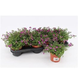 VDP Lobelia Richardii Purple x 12